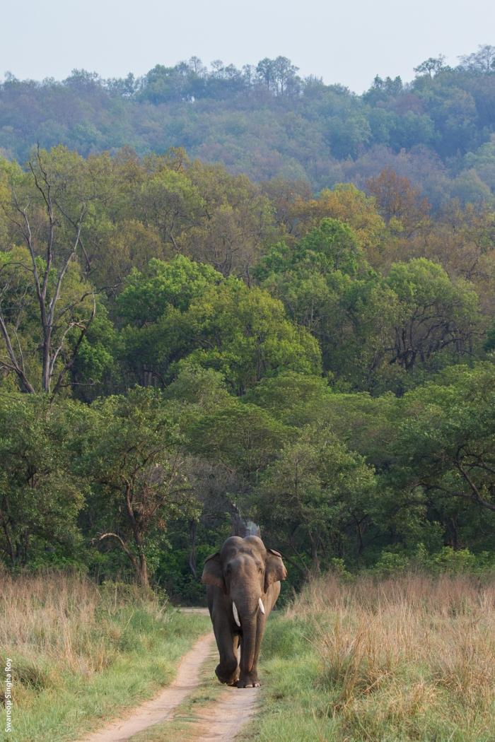 Elephant_Corbett_Dhikala__World Elephant Day_Swaroop Singha Roy