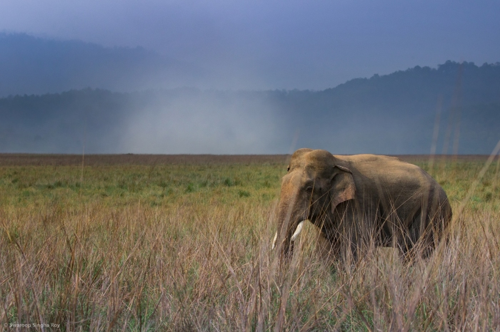 Elephant_Dhikala_Rain_Corbett__World Elephant Day_Swaroop Singha Roy