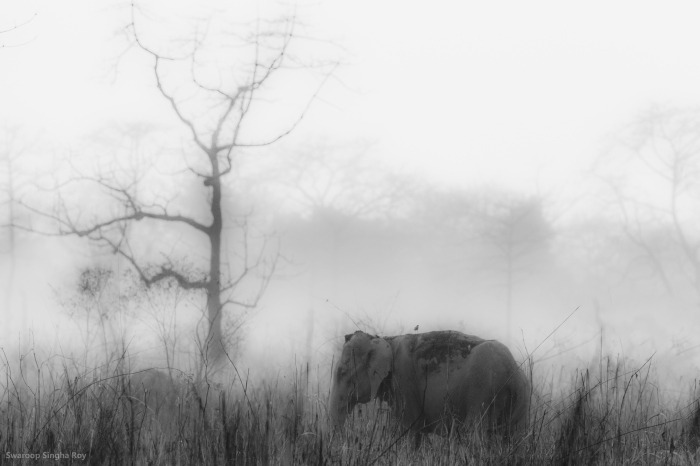 Elephant_Manas National Park_World Elephant Day_Swaroop Singha Roy
